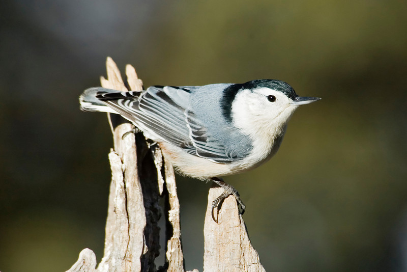 Nuthatch - White-breasted - male - Dunning Lake, MN - 04