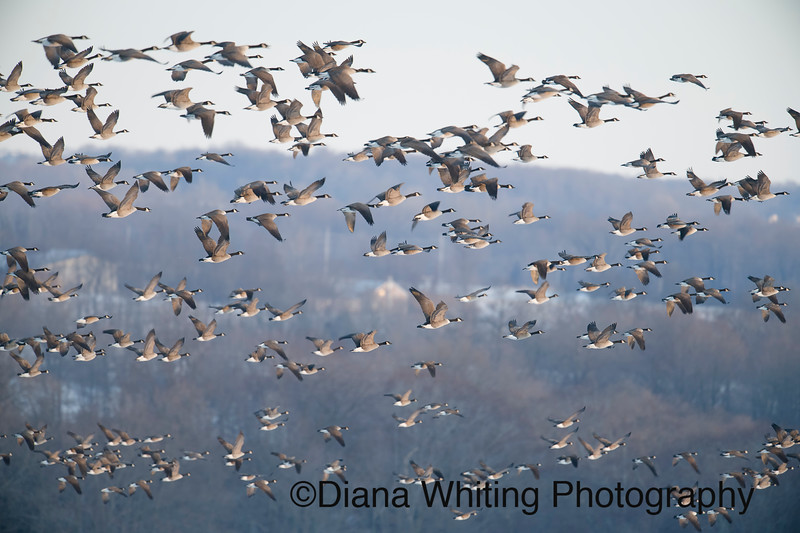 Canada Geese in Flight.jpg