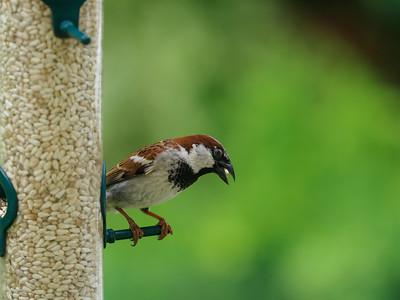 Birds on Feeder Pro Capture 7-11-17