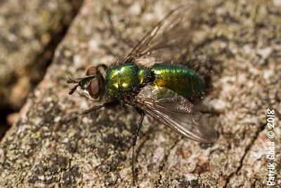 Grüne Schmeissfliege (Genus Lucilia)