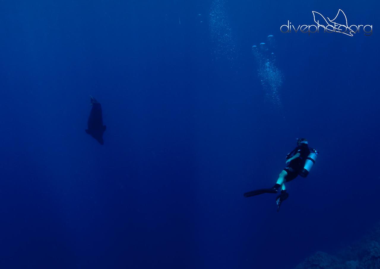 Hawaiian monk seal and diver
