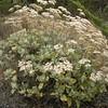 St Catherine's Lace, Eriogonum giganteum