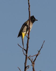 Arabianbulbuli (Pycnonotus xanthopygos)