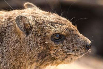 Bush Hyrax