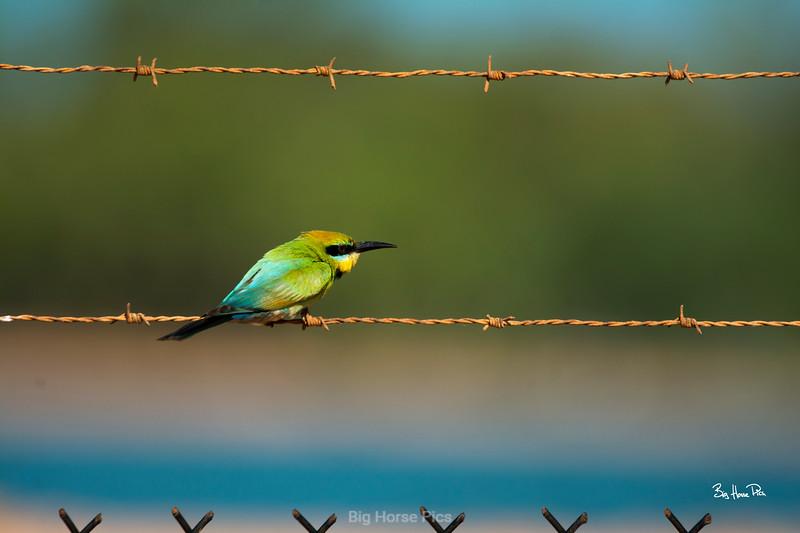 Broome bird barbed wire  bhp.jpg