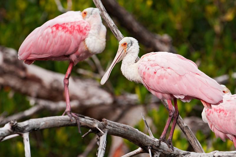 Spoonbill - Roseate - Ding Darling NWR - Sanibel Island, FL - 05