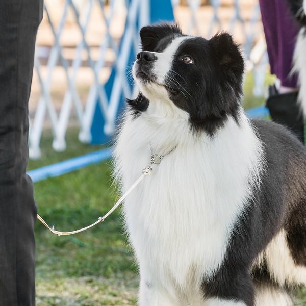 20180203_Sahuaro State Kennel Club_Border Collies_DSC2706-38.jpg