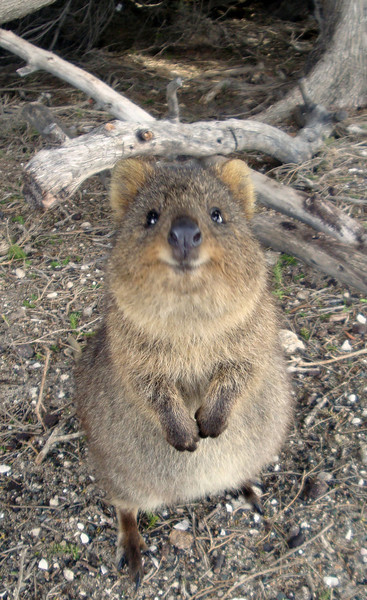 Some is particularly cute. Quokkas are miniature kangaroo imitations who vaguely resembled giant rats, in the eyes of the early Dutch explorers, who'd never seen anything similar. Hence, with their accents, they named the island 'Rottnest.'