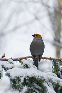 Pine Grosbeak  Taken Dec. 3, 2011 Elk Island Retreat Near Fort Saskatchewan, Alberta
