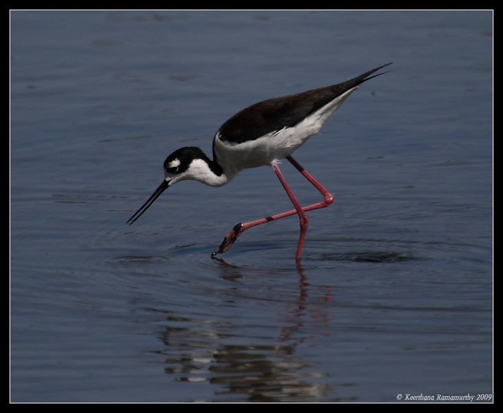 Black-necked Stilt, Famosa Slough, San Diego County, California, April 2009