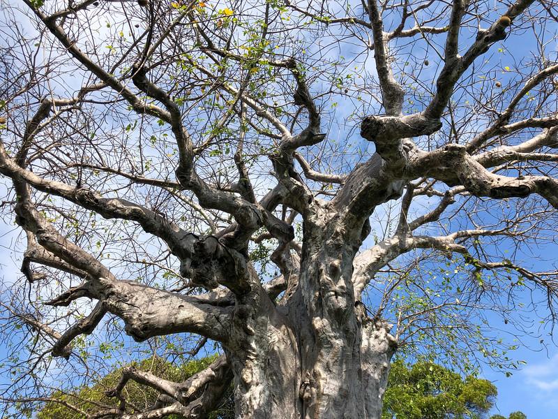 Baobab in Zanzibar