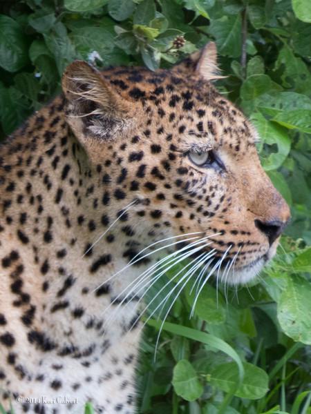 LeopardK-2.jpg
