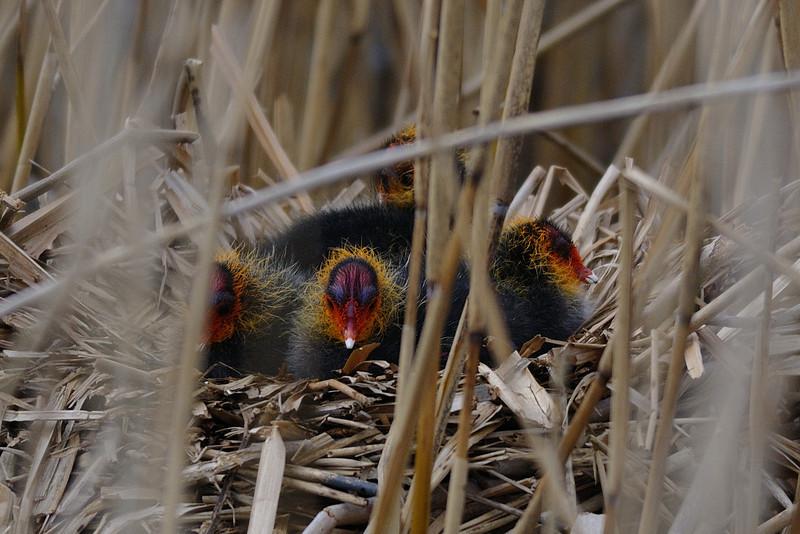 Coot chicks London Wetland Centre, London, England