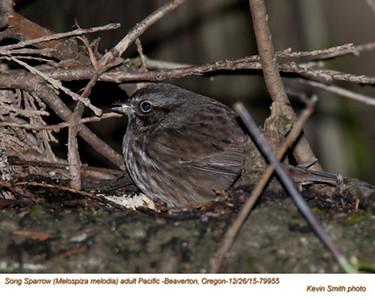 Song Sparrow A79955.jpg