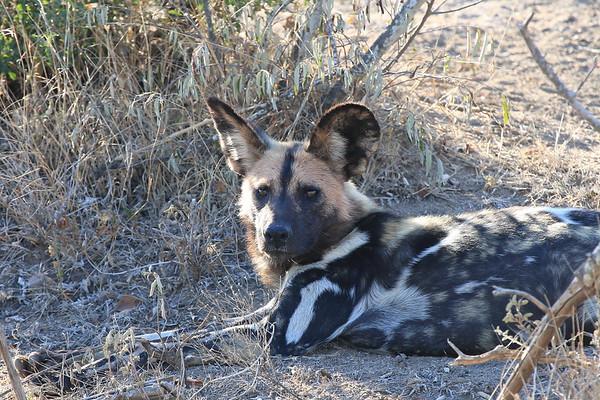 Wild Dog South Africa 2008