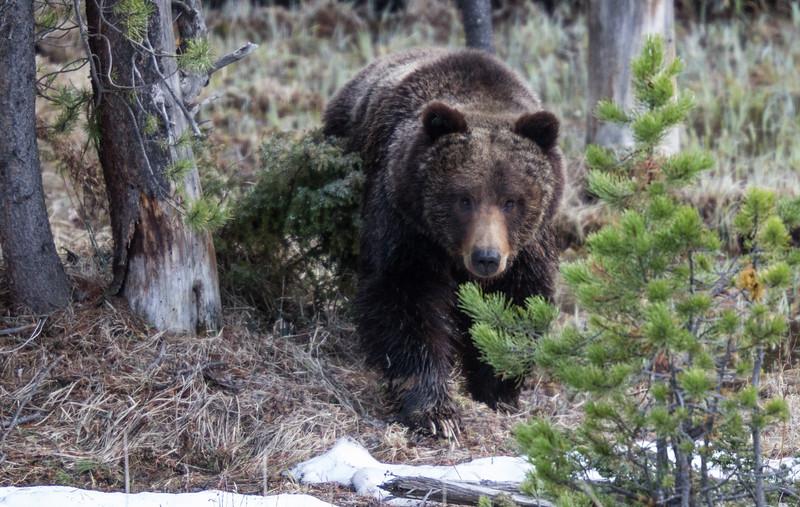 Grizzly bear boar male Yellowstone National Park WY IMG_0478.jpg