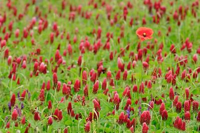 A single poppy amid other wildflowers near Weilerbach, Germany. © 2005 Kenneth R. Sheide
