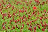 A single poppy amid other wildflowers near Weilerbach, Germany. © 2005 Kenneth R. Sheide