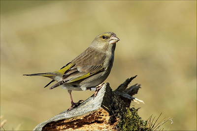 Grønnfink - European Greenfinch