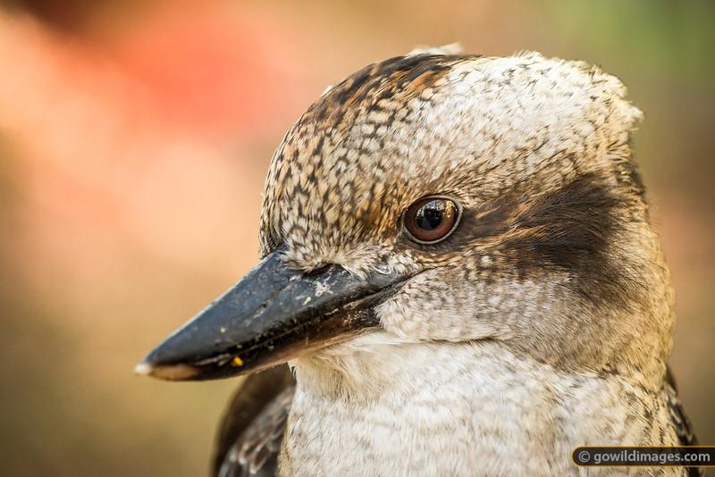 Kookaburra Detail