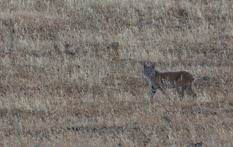Bobcat - California Central Valley.jpg