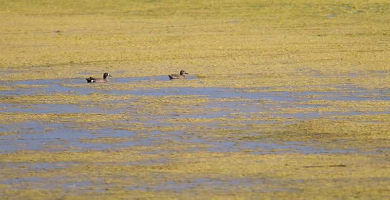 Blue-winged Teal Oak Hammock Marsh Selkirk Manitoba IMG_0383.jpg
