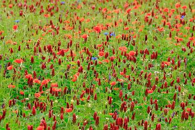 Wildflowers near Weilerbach, Germany. © 2005 Kenneth R. Sheide