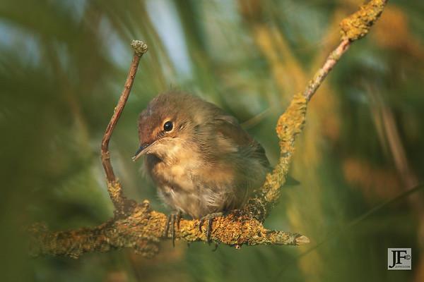 Reed Warblers