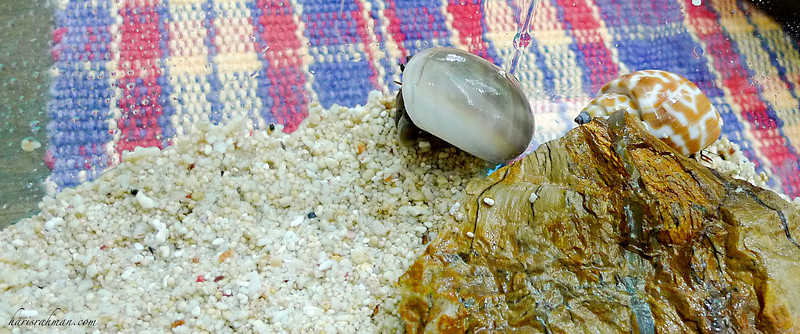 New addition  It seems that the boys are keen for more. We got three hermit shells to ad to our collection. Their names? Pete, Max and Graham.