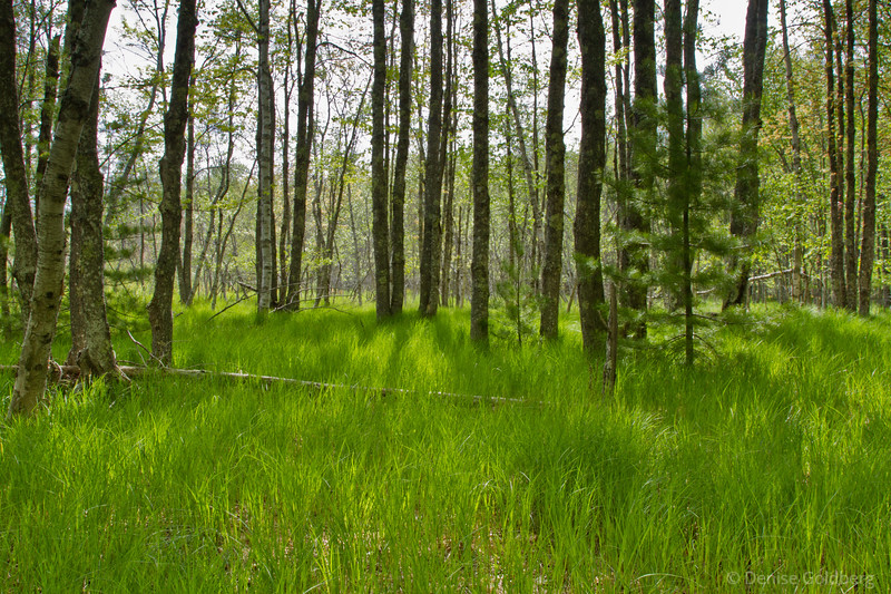 trees along Jessup Path, Acadia National Park