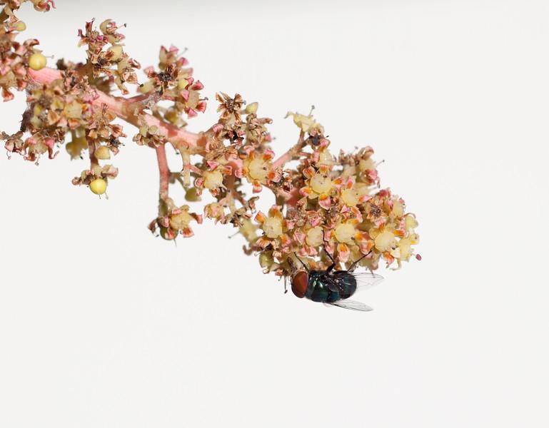 fly on mango blossom-1.jpg