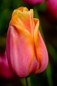 Tulips in Mossyrock, Washington