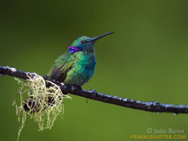Violet eared humming bird in the rain