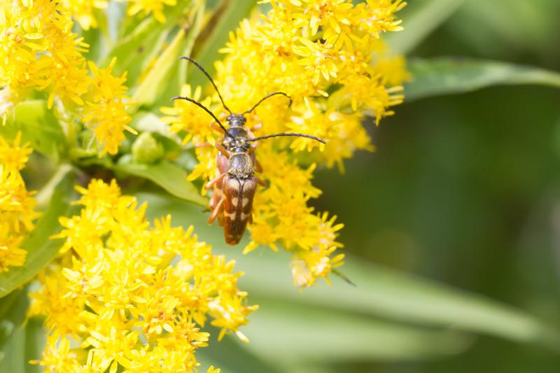 Typocerus velutinus flower longhorn beetle Gray Jay Way Sax-Zim Bog MN IMG_4216.jpg