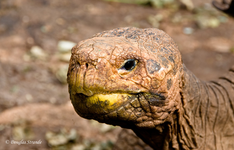 """Giant tortoise """"Diego""""... a super-stud at 100+ years old at the Galapagos National Park Darwin Center"""
