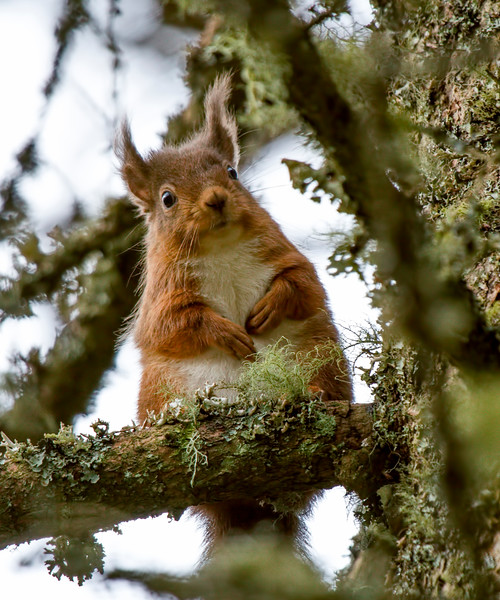 Red Squirrel Feeder tree 01 CROP Hi Res.jpg