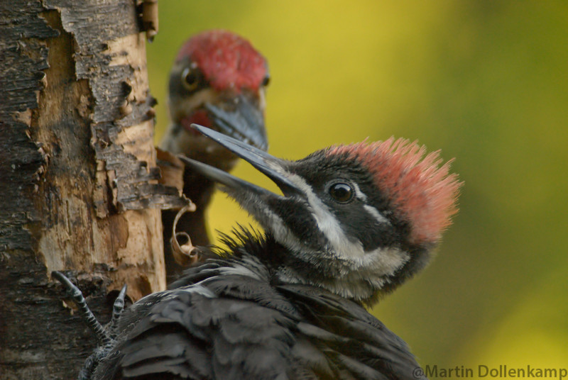 Pileated Woodpeckers, male adult feeding young female.