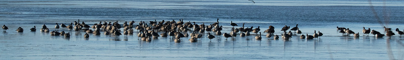 Canadian Geese Iced In