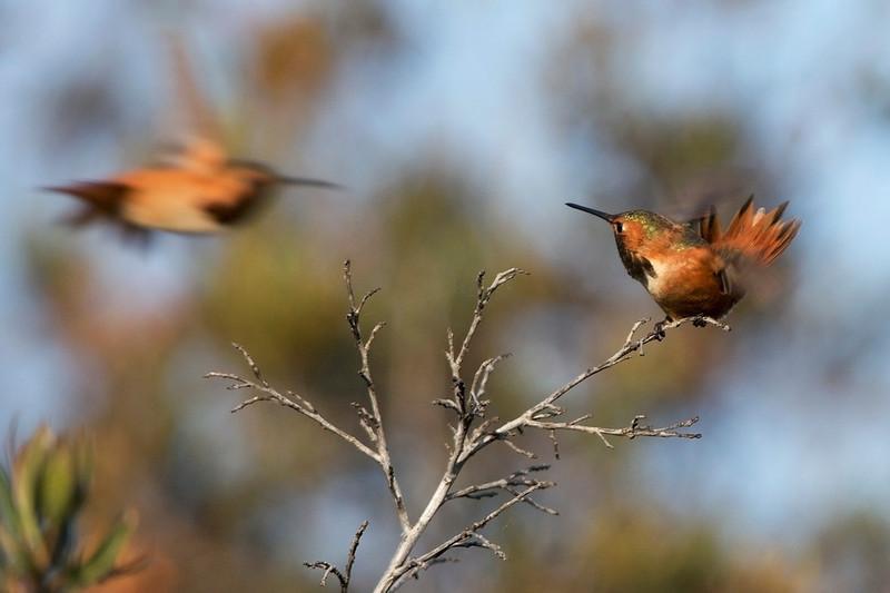 Allen's hummingbirds
