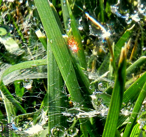 07-29-12 This little orange fella is having a grand time among the energy-filled water droplet grassy area.  There is another being to the right in the picture - you can him it if you gaze into the light reflecting on the standing grass blade.  Love how the blue is infiltrated throughout.