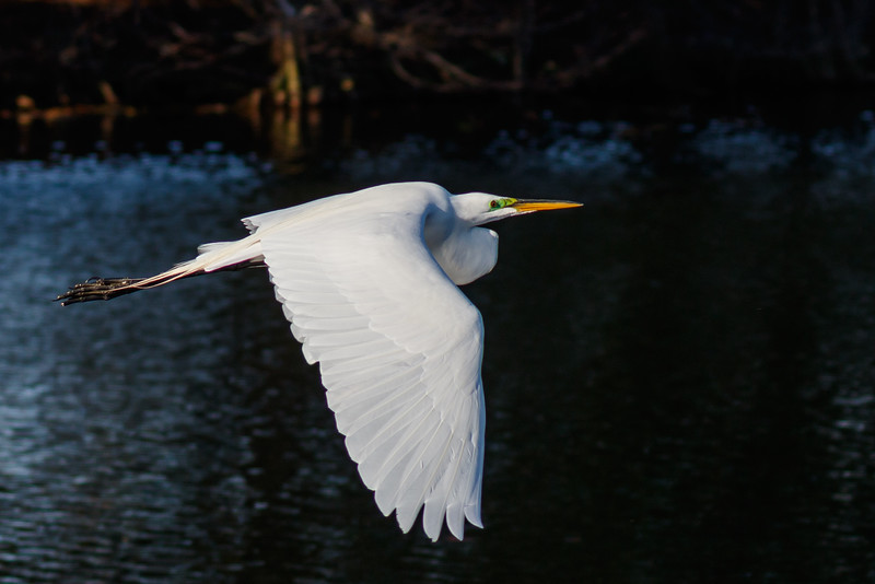 Great Egret in Flight.jpg