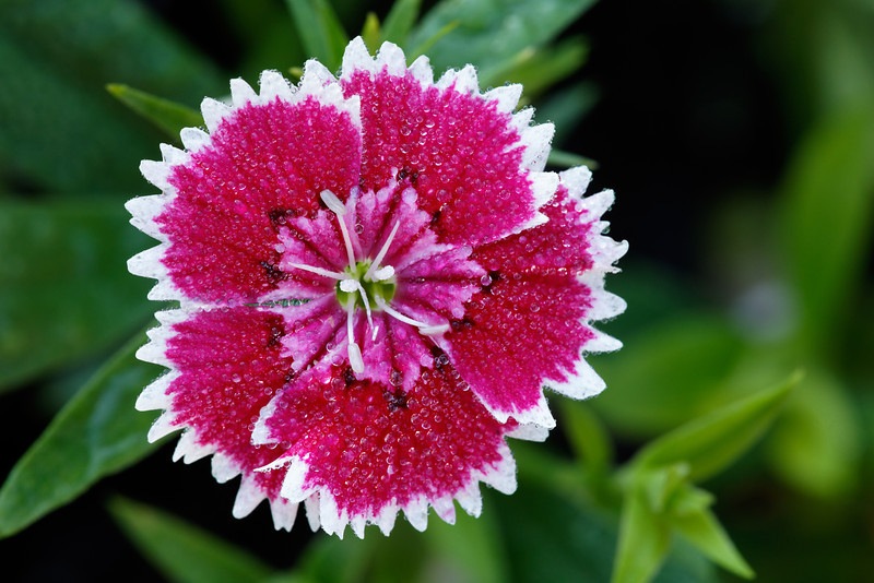'Floral Lace Picotee' dianthus (Dianthus chinensis)