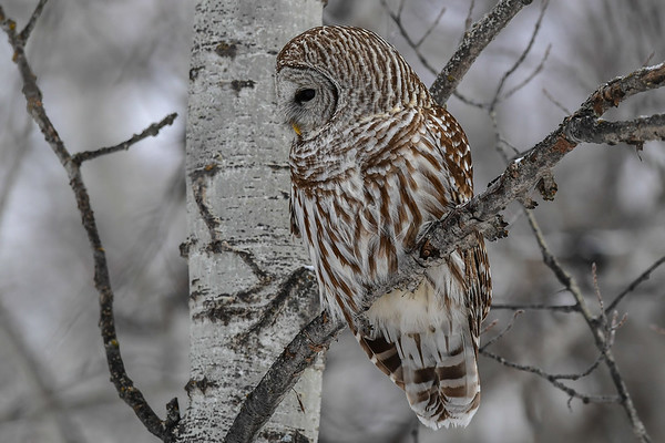 1-24-17 **Barred Owl