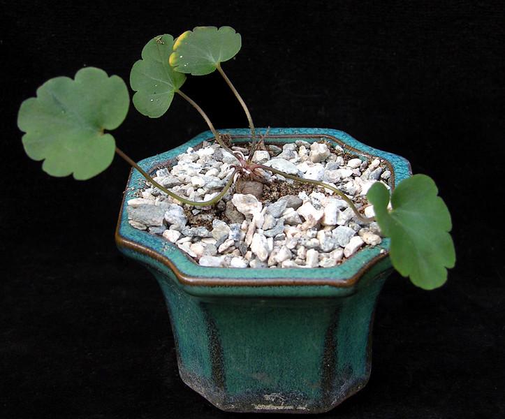 Pelargonium nephrophyllum leaf
