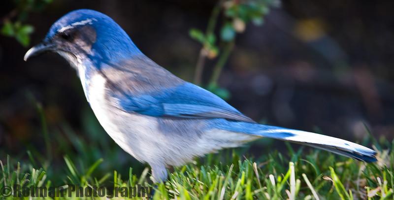 Blue Jay-7644.jpg