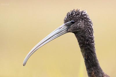 2020-11-12 - Kaski, gm. Baranów - ibis kasztanowaty (Plegadis falcinellus)