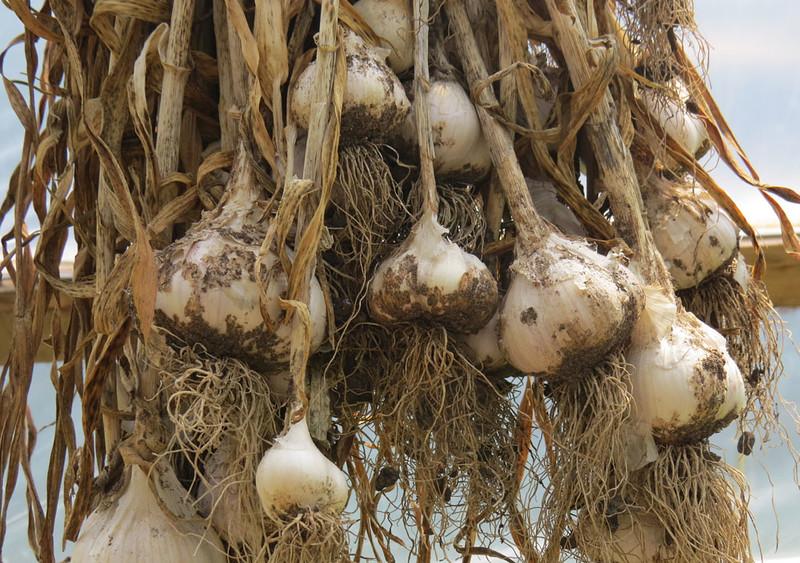 Garlic-July7th.jpg