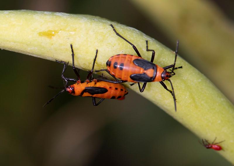 Milkweed Bug-1.jpg