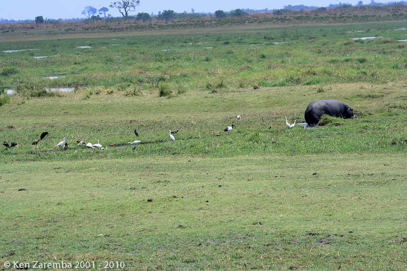 multitude of birds working and feeding in the wake of a hippo