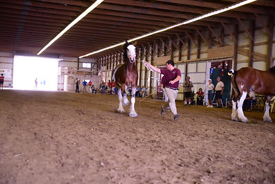 Clydesdale Yeld Mare 4+